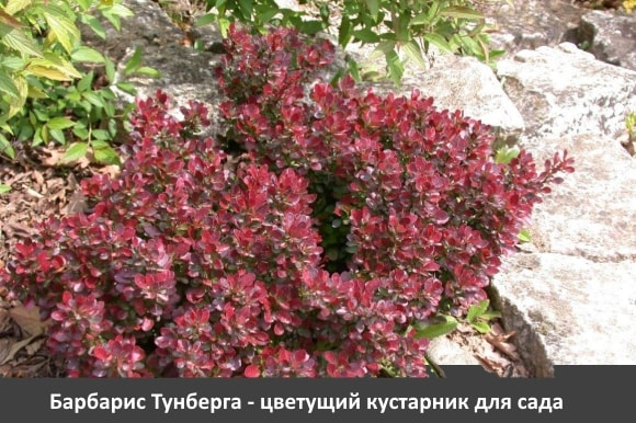 Барбарис Тунберга - цветущий кустарник для сада