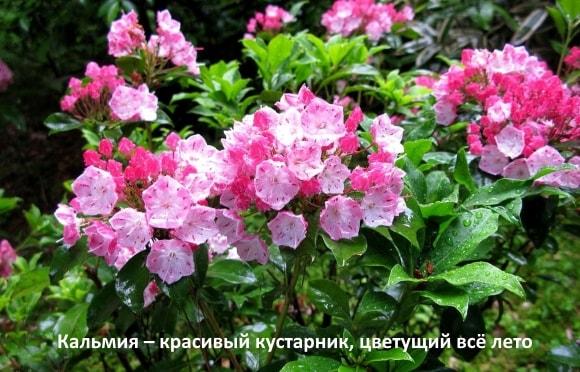 Кальмия – красивый кустарник, цветущий всё лето