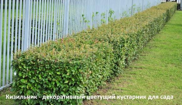 Кизильник - декоративный цветущий кустарник для сада