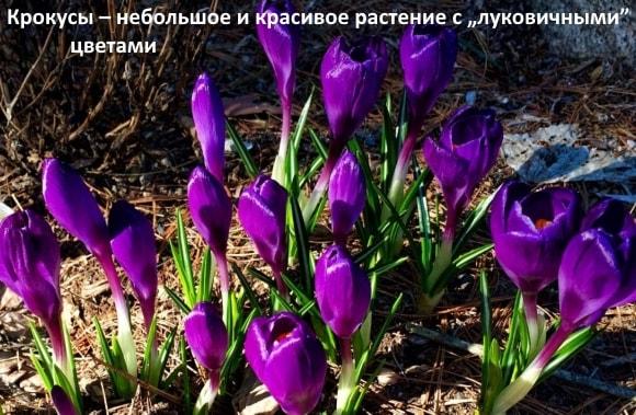 """Крокусы – небольшое и красивое растение с """"луковичными"""" цветами"""