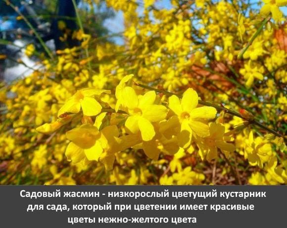 Садовый жасмин - низкорослый цветущий кустарник для сада, который при цветении имеет красивые цветы нежно желтого цвета