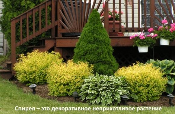 Спирея – это декоративное неприхотливое растение