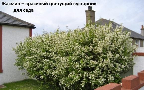 Жасмин – красивый цветущий кустарник для сада